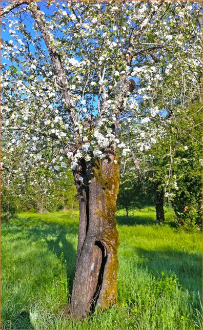 Aging Apple Tree in Bloom